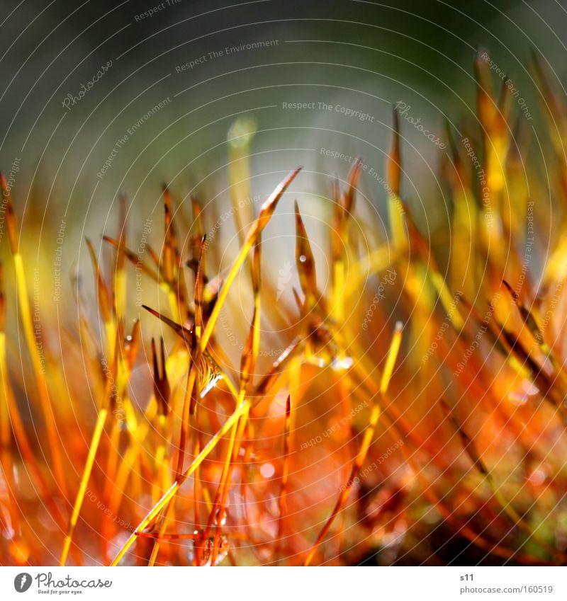 NatureFire Farbfoto mehrfarbig Nahaufnahme Makroaufnahme Tag Licht schön Leben Seil Pflanze Wassertropfen Regen Moos nass Sporen winzig Nähgarn Brand