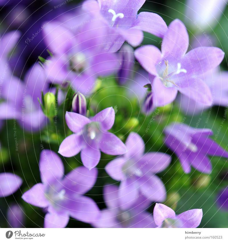 milkablume Natur Pflanze Blume Frühling Blüte Hintergrundbild frisch Botanik Floristik Gartenbau Zimmerpflanze
