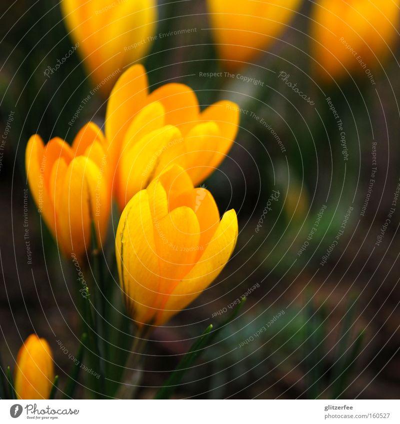 dottergelb Blume grün Pflanze Freude gelb Blüte Frühling Boden Blütenknospen aufwachen Krokusse Zwiebel Frühlingsblume