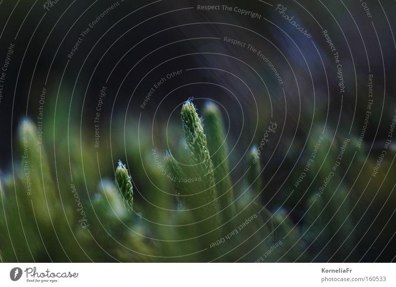 Bärlapp Natur Pflanze grün dunkel Waldboden Norwegen Makroaufnahme Nahaufnahme Scharf-Unscharf