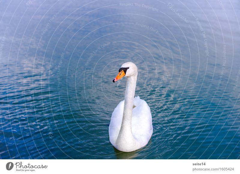 Schwan. See. Blau. Wasser blau Schwimmen & Baden Im Wasser treiben weiß Tier harmonisch Textfreiraum links Textfreiraum rechts Anmut elegant Vogel Gewässer