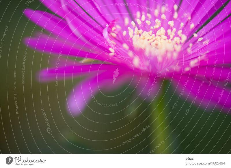 Flower Power Umwelt Natur Pflanze Frühling Sommer Blume Blatt Blüte exotisch Duft gelb violett rosa Gefühle Frühlingsgefühle Romantik Blühend Blütenblatt