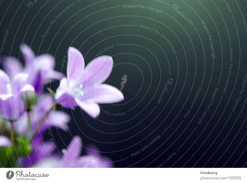 lila pause Blume Natur Frühling frisch Gartenbau Pflanze Botanik Hintergrundbild Floristik Blüte violett