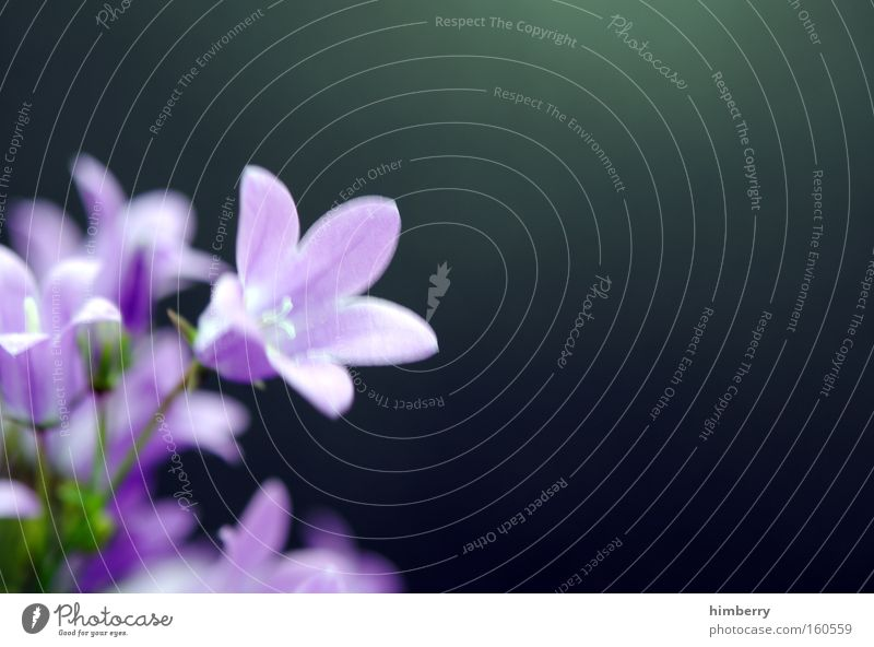 lila pause Natur Pflanze Blume Frühling Blüte Hintergrundbild frisch violett Botanik Floristik Gartenbau