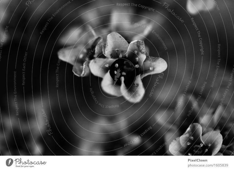 Schwarzblüten Tourismus Garten Umwelt Natur Pflanze Blume Sträucher Park Wiese Blühend Wachstum schön schwarz weiß Schwarzweißfoto Nahaufnahme Detailaufnahme