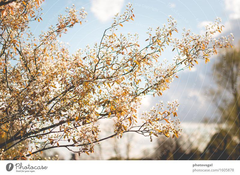 Felsenbirne in Blüte Umwelt Natur Pflanze Himmel Wolken Frühling Baum Sträucher Blatt Garten Wärme blau braun weiß Freude Glück Fröhlichkeit Zufriedenheit