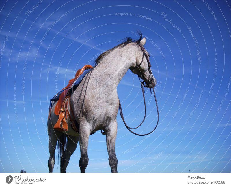 Sommer Reitsport Reiten Pferd Himmel Wind blau Schimmel Freiheit Säugetier
