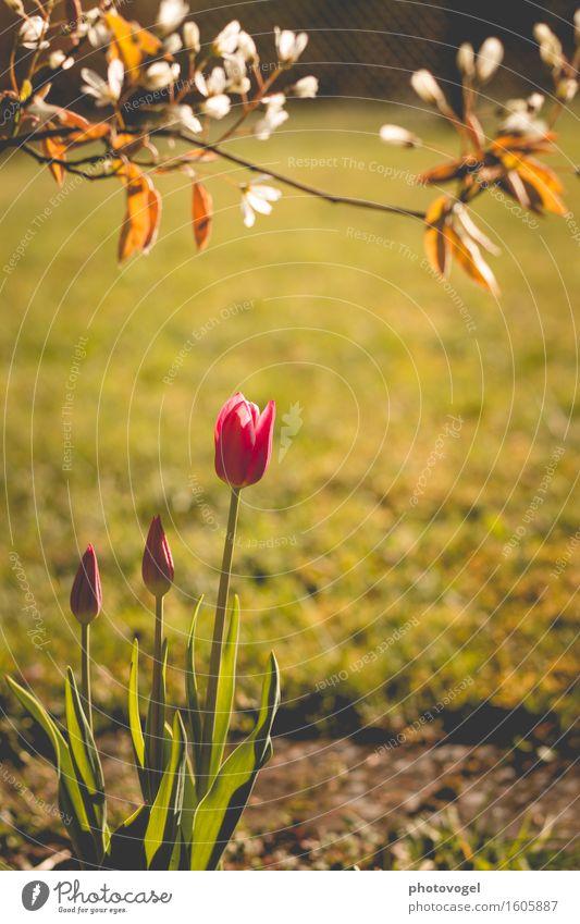 Awakening Umwelt Natur Pflanze Frühling Tulpe Blatt Blüte Grünpflanze Felsenbirne Garten Wärme grün rosa weiß Stimmung Freude Glück Fröhlichkeit Zufriedenheit