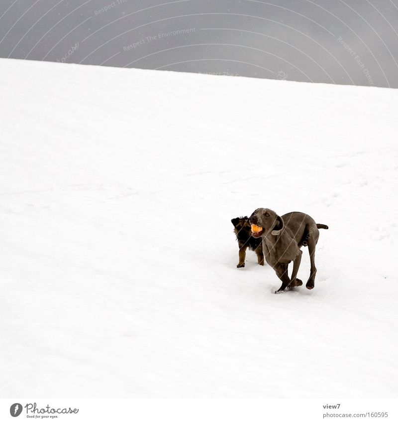 Emil und Tia Hund Winter Freude kalt Schnee Spielen Freundschaft laufen Ball Rennsport Säugetier Ballsport Neuschnee Terrier Weimaraner