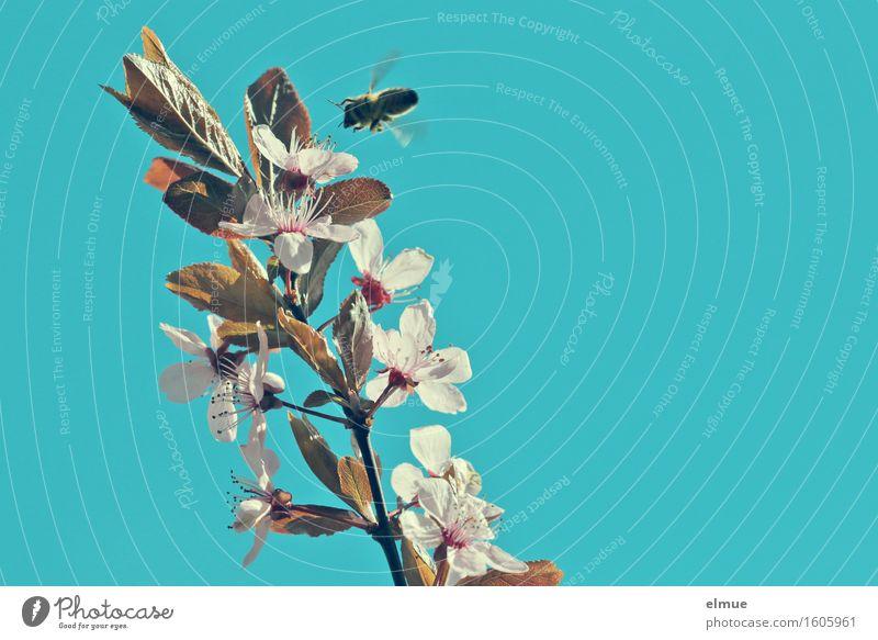 summ, summ, summ Honigbiene Sonnenlicht Frühling Blüte Kirschpflaume Blutpflaume Kirschblüten Ast Garten Biene Luftverkehr Blühend fliegen leuchten Duft Erotik