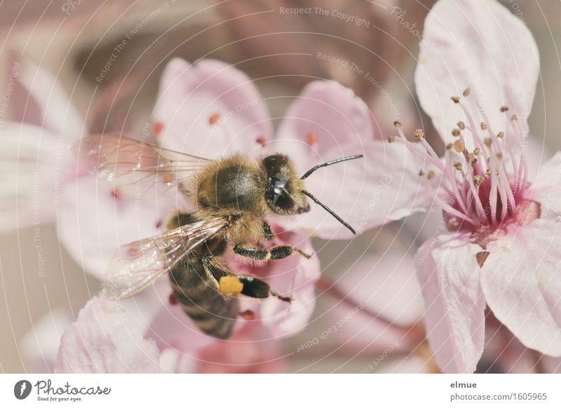 fleißig, fleißig Frühling Blüte Kirschpflaume Kirschblüten Blütenblatt Samen Nektar Garten Park Biene Insekt Bienchen Blühend Duft Erotik rosa Glück