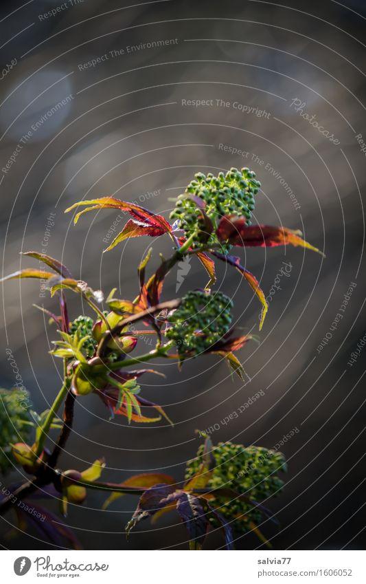 Abendlicht Umwelt Natur Pflanze Frühling Herbst Sträucher Blatt Grünpflanze Wildpflanze Zweige u. Äste Wald frisch grau grün rot Stimmung Leben Wachstum