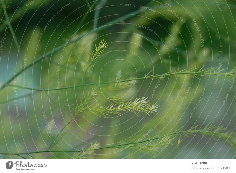 Flüstergras grün Farbe Gras Ast Kräuter & Gewürze verzweigt