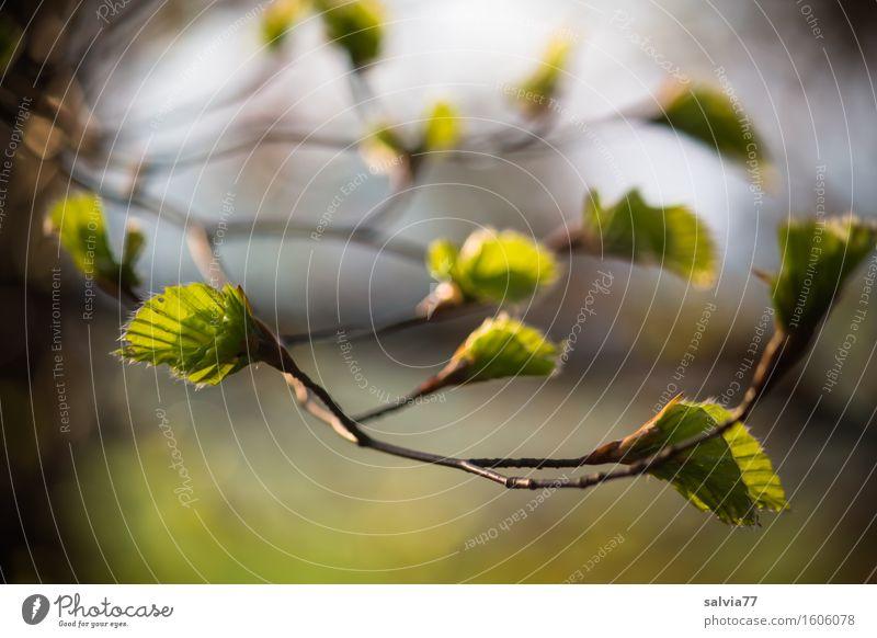 Frühlingszweig Himmel Natur Pflanze grün Baum Erholung Blatt ruhig Wald Umwelt Leben Religion & Glaube Glück Stimmung braun