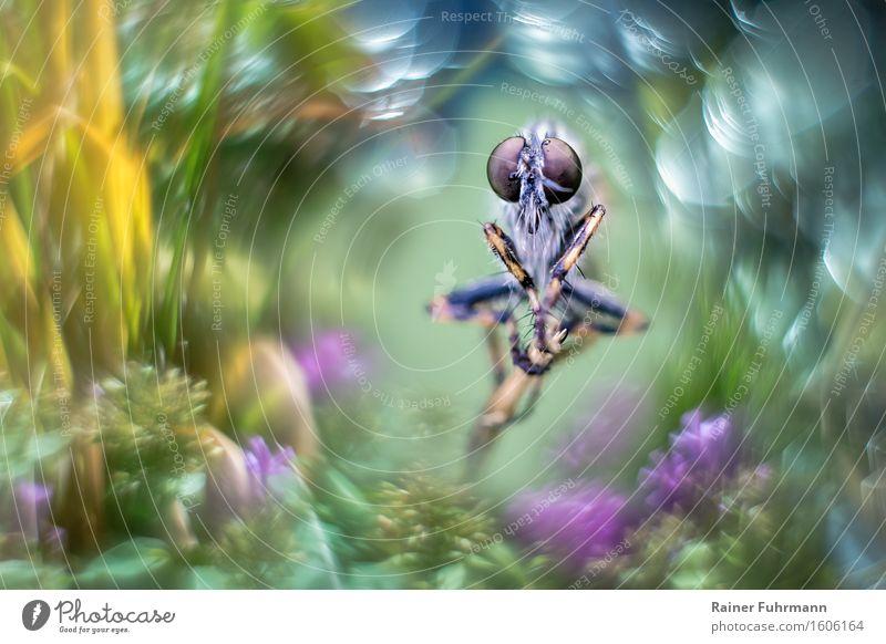 Eine Raubfliege sitzt in der Natur, von starkem Bokeh umrahmt grün schön Tier gelb fliegen Fliege Blühend violett Fressen