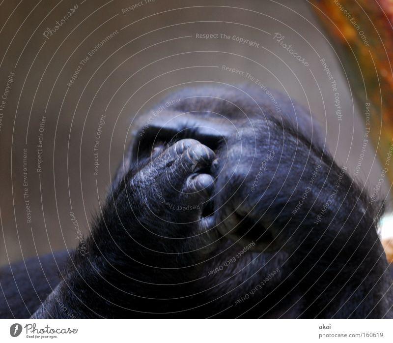 Ich will raus! Affen Gorilla Tier Menschenaffen Gehege Denken nachdenklich Sorge kümmern Futter Leben Existenz Basel Trauer Verzweiflung Wut Ärger Säugetier