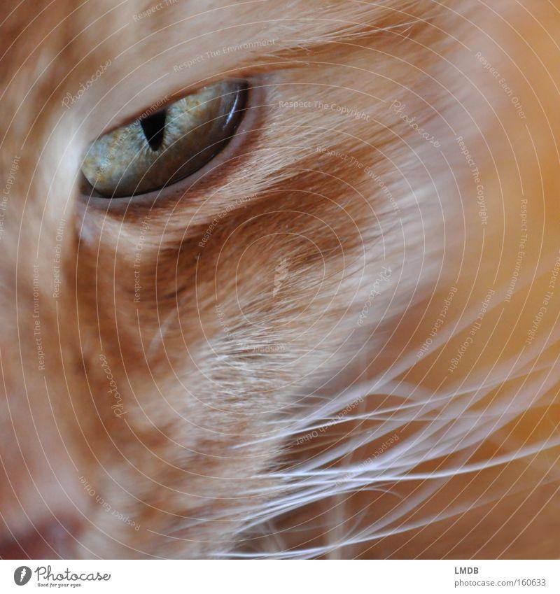 Ich hab dich im Auge Katze Blick böse drohen beobachten Fell Haustier Säugetier Hauskatze verschlagen getigert