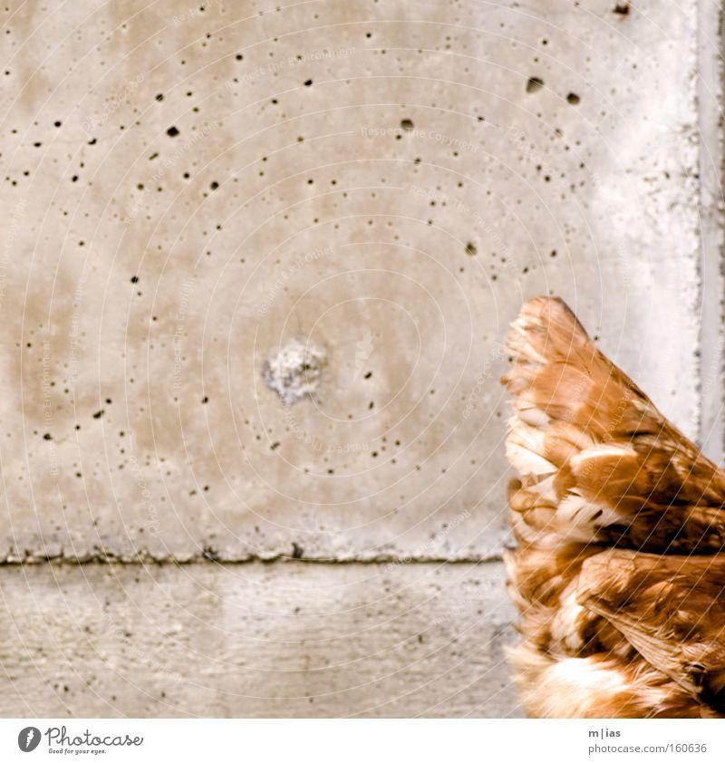 Goldbroiler vor Sichtbeton. Natur Umwelt Stein Freizeit & Hobby Beton gefährlich Landwirtschaft Bauernhof Vogel Haushuhn Mineralien Freilandhaltung
