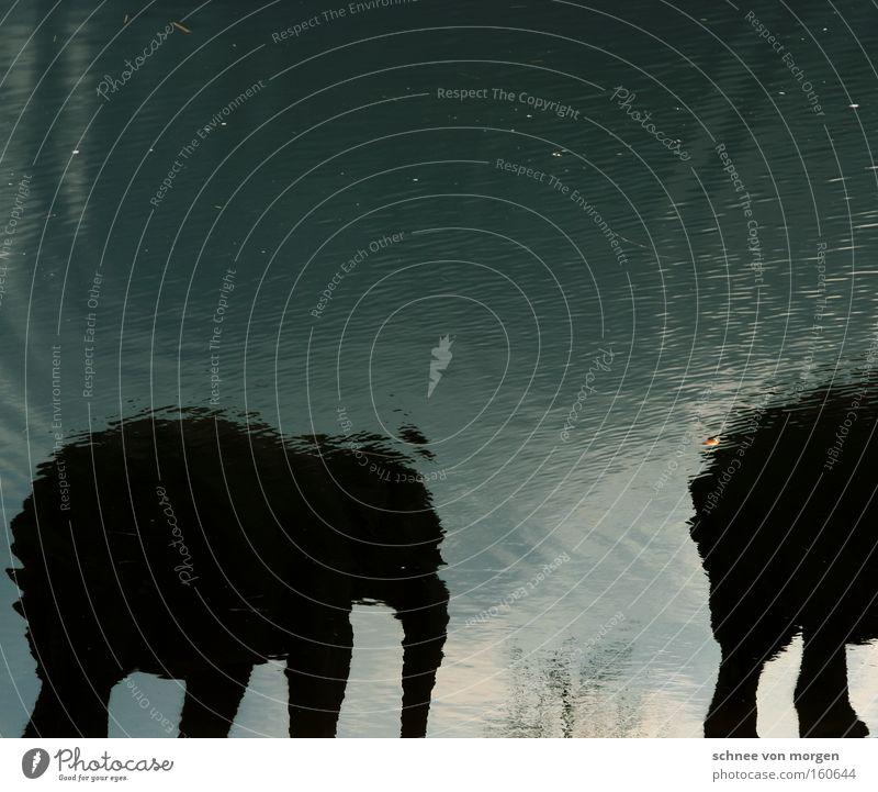 zwei bis fünf Tonnen Körpergewicht Natur blau grün Wasser ruhig Tier schwarz Umwelt Bewegung Kraft Zufriedenheit Tierpaar Wildtier laufen Sicherheit Gelassenheit