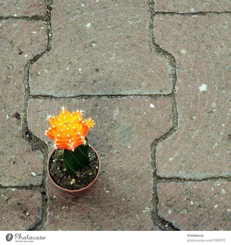 ausgesetzt Kaktus Pflanze Topfpflanze Stachel Zimmerpflanze Terrasse Dekoration & Verzierung orange Steinboden Bodenbelag Kopfsteinpflaster Pflastersteine