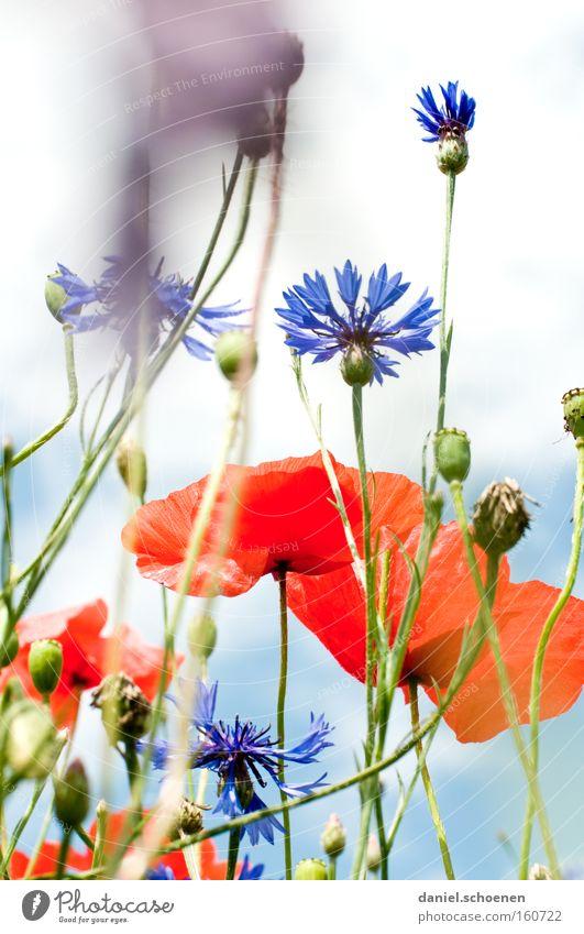 bald... Sommer Wiese Mohn Klatschmohn Sonne Kornblume Himmel rot blau Blüte Perspektive