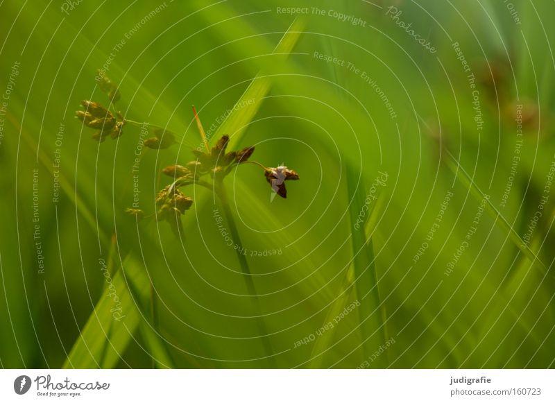 Gras grün Sommer Wiese Pollen Natur Umwelt Pflanze Halm Farbe rispe
