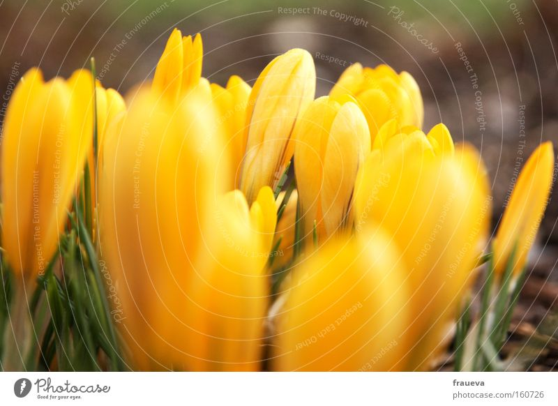 frühlingserwachen grün Blume Farbe gelb Frühling Wachstum Blühend aufwachen Frühlingsgefühle Krokusse sprießen