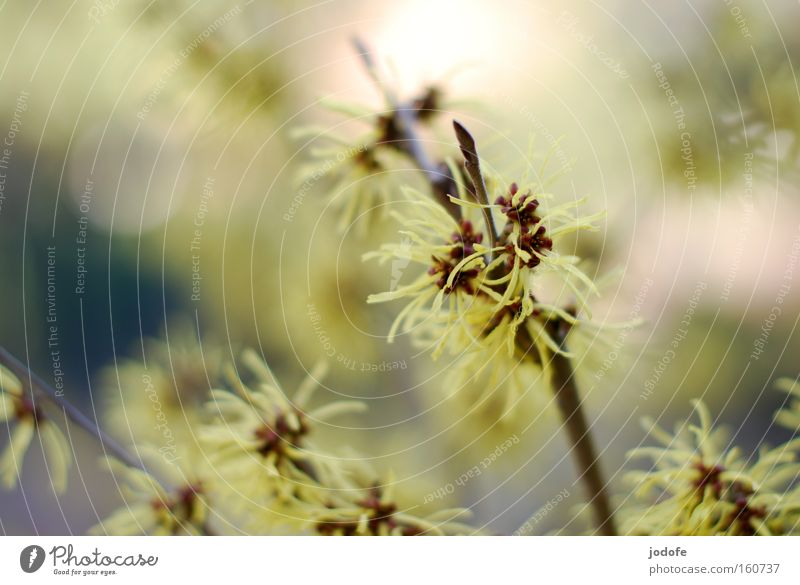 guten morgen frühling. Natur schön Blume Pflanze gelb Blüte Frühling Stern (Symbol) Sträucher Ast zart sanft gefiedert Zaubernuss