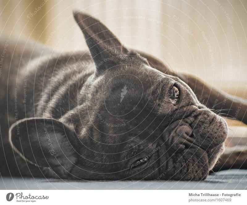 Entspannung Erholung ruhig Natur Tier Sonnenlicht Haustier Hund Tiergesicht Fell 1 beobachten glänzend genießen liegen Blick schlafen natürlich niedlich