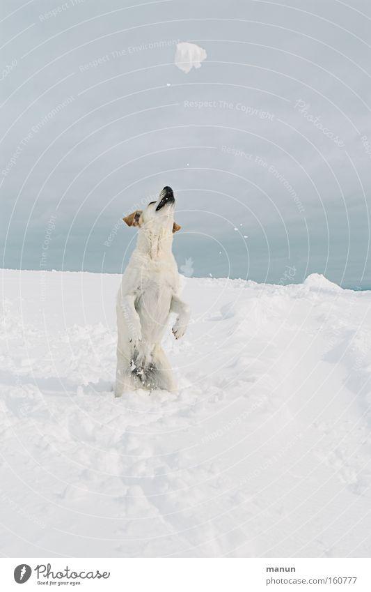 Playball Hund Schnee Schneefall Winter Freude Lebensfreude Fröhlichkeit Glück Gesundheit Spieltrieb Spielen springen Haustier Bewegung Fitness Kraft