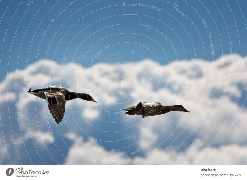 Ente gut... Freiheit Luftverkehr Natur Tier Himmel Wolken Vogel Flügel 2 Tierpaar fliegen blau Erpel Feder pischare paarweise Farbfoto Außenaufnahme