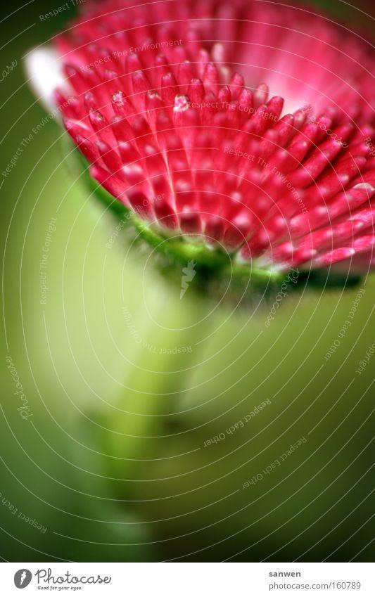 herr winter, geh hinter Blume Frühlingsblume Wärme rot rosa grün Blüte Sonne Vorfreude Pflanze Sommer Sommerblumen Makroaufnahme Nahaufnahme