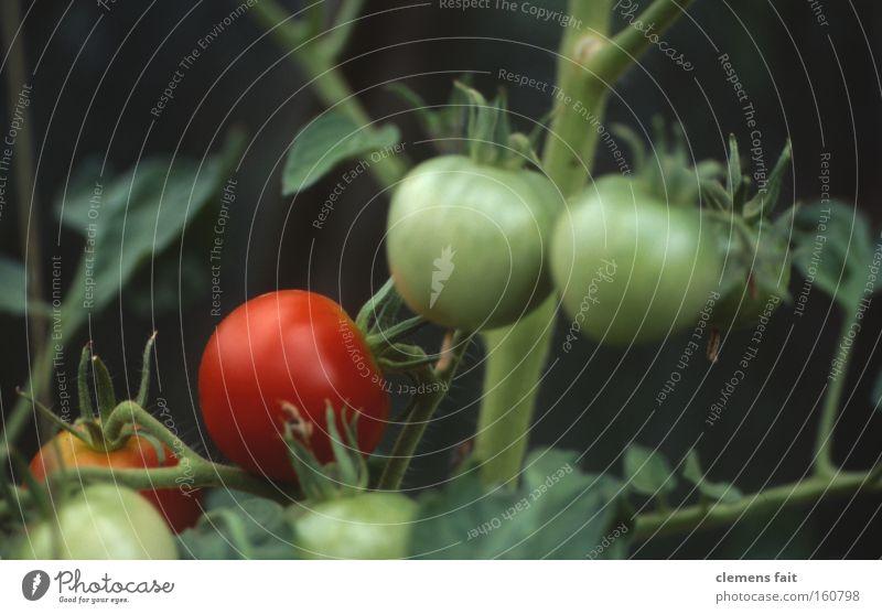 Tomate gesund Gewächshaus rot grün Gemüse Gesundheit Makroaufnahme reif unreif Garten Ernährung alt Stengel