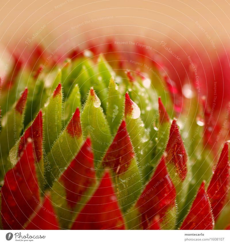 Taufrisch Umwelt Natur Pflanze Wasser Frühling Sommer Blatt Blüte Grünpflanze Wildpflanze dünn authentisch klein nah nass natürlich saftig Spitze stachelig grün