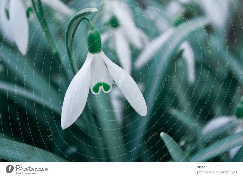 Weißrock Natur Pflanze weiß Frühling Blüte Blühend Duft Blütenblatt Frühlingsgefühle Glocke aufwachen hängend Blume Schneeglöckchen Blütenstiel Winterlinge