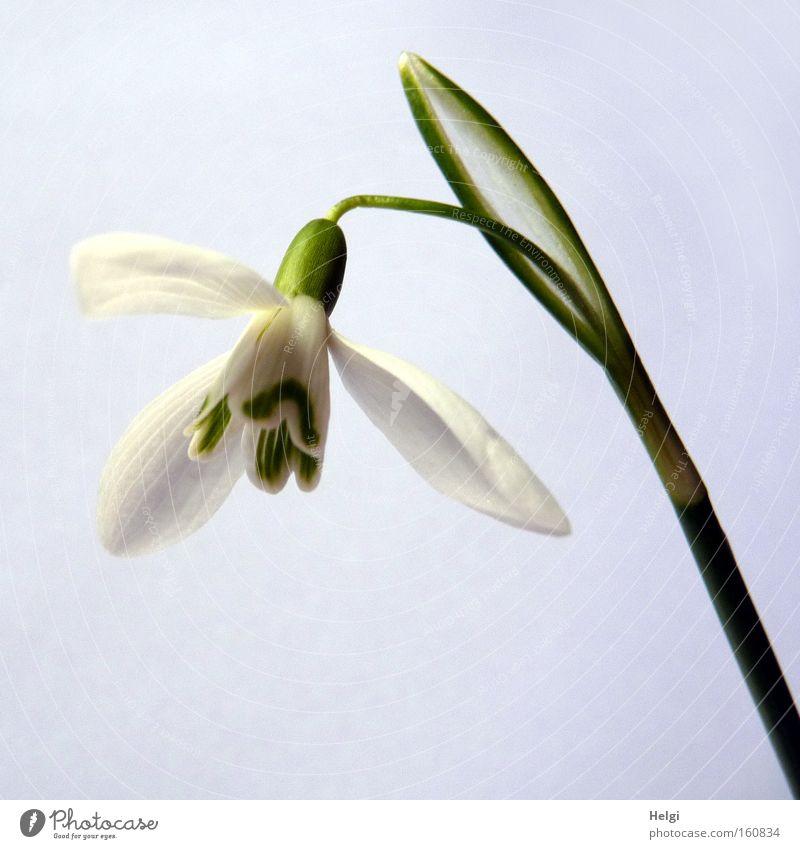 Frühling einläuten... Natur weiß Blume grün Blüte Park Stengel Blühend März Schneeglöckchen