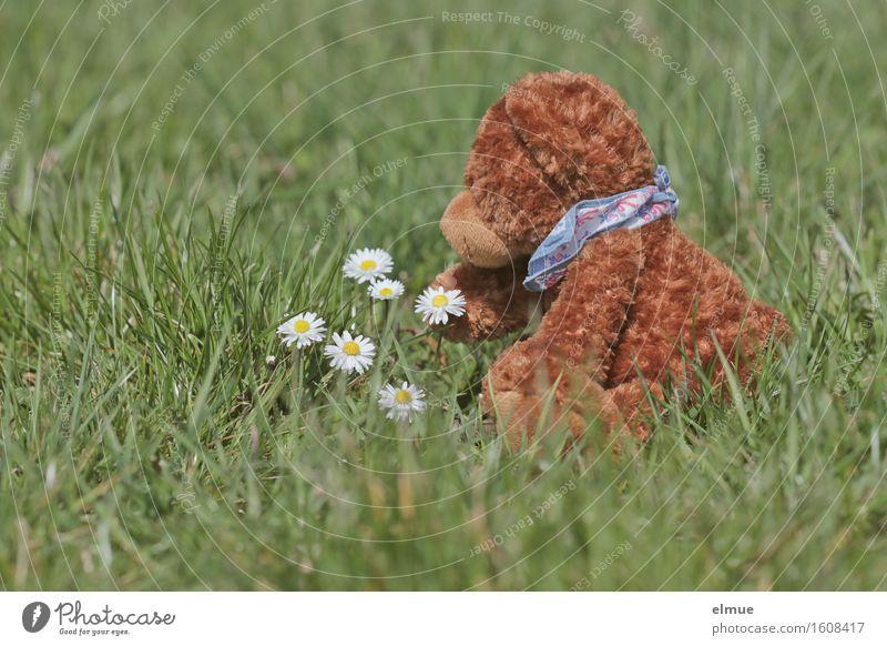 Teddy Per auf Entdeckungstour Ausflug Abenteuer Frühling Gras Blüte Gänseblümchen Wiese Spielzeug Teddybär Stofftiere berühren Blühend entdecken Erholung sitzen