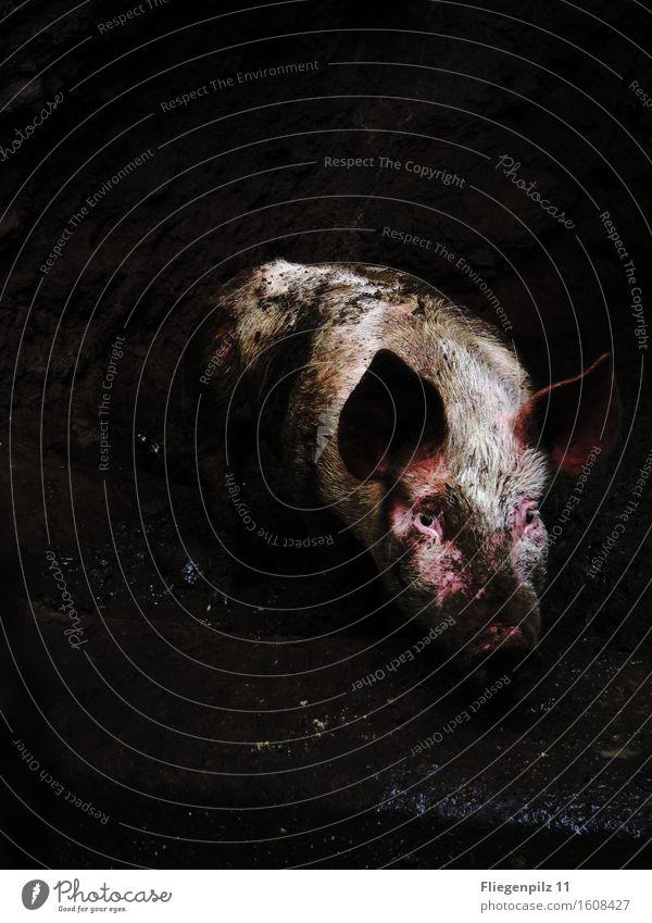 Drecksau Tier Nutztier Tiergesicht 1 beobachten Traurigkeit dreckig dunkel Ekel kalt rosa Gefühle Wachsamkeit Einsamkeit Angst Verzweiflung verstört
