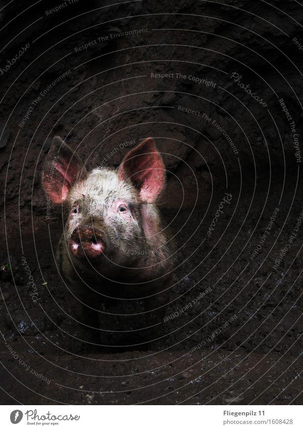 Schweinchen Babe Einsamkeit Tier dunkel kalt Traurigkeit rosa Angst dreckig beobachten Neugier Hoffnung Trauer Ohr Wachsamkeit Tiergesicht Interesse