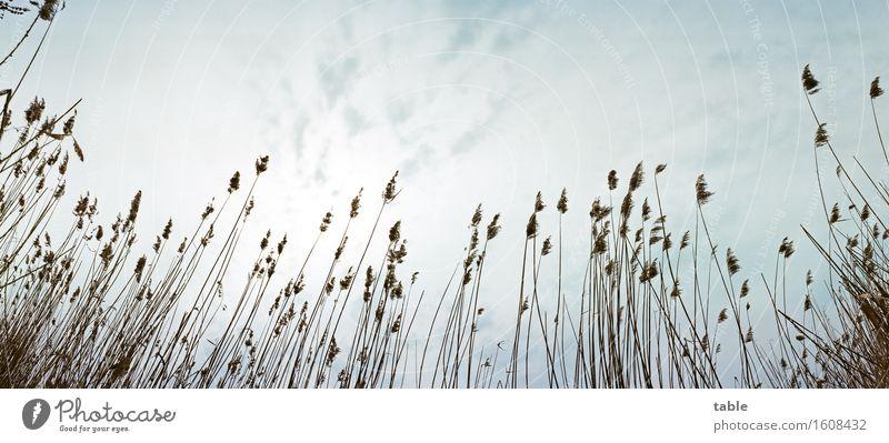 into the sky... Umwelt Natur Pflanze Luft Himmel Frühling Schönes Wetter Grünpflanze Wildpflanze Schilfrohr Seeufer Flussufer dehydrieren Wachstum alt dünn hoch