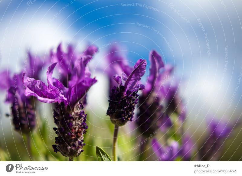 Schmetterlings-Lavendel Natur Pflanze Himmel Sonnenlicht Frühling Schönes Wetter Blume Sträucher Blüte Nutzpflanze Topfpflanze exotisch Garten Wiese ästhetisch