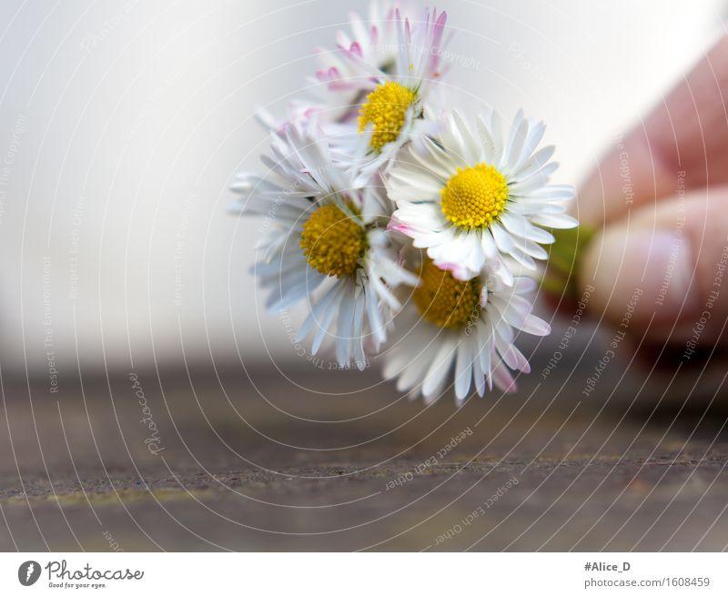 Gänseblümchensträuschen Natur Pflanze schön Sommer weiß Hand Blume Freude gelb Frühling Blüte natürlich Hintergrundbild außergewöhnlich Blühend Geschenk