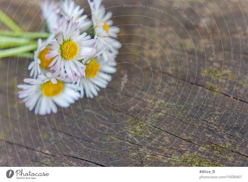 Gänseblümchenstrauß auf verwittertem Holz Natur Pflanze Frühling Blume Moos Blüte Wildpflanze Garten alt ästhetisch außergewöhnlich schön Kitsch natürlich retro