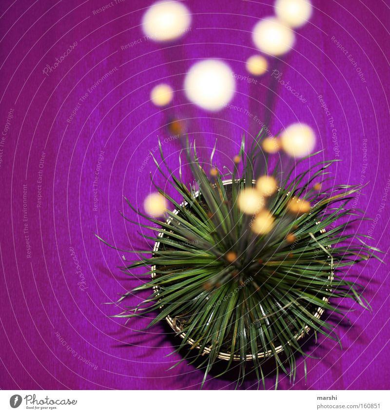Antennen ausfahren Pflanze Blume Blüte violett grün glänzend Fühler Punkt Topfpflanze Dekoration & Verzierung interessant Haushalt Perspektive Mikadopflanze