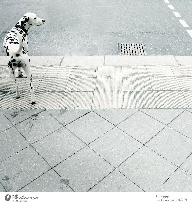 zebra Dalmatiner Hund Tier Tierzucht Haustier Straße Fußgängerübergang Straßenverkehr Punkt schwarz weiß Säugetier vierbeiner Straßenhund