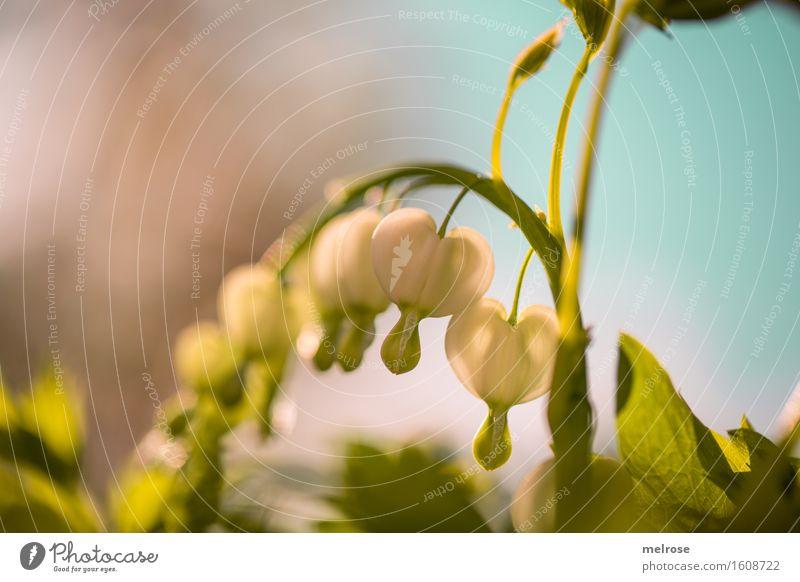 Traurige Herzen elegant Stil Natur Himmel Frühling Schönes Wetter Pflanze Blume Sträucher Blatt Blüte Wildpflanze Tränendes Herz Erdrauchgewächse Blütenpflanze