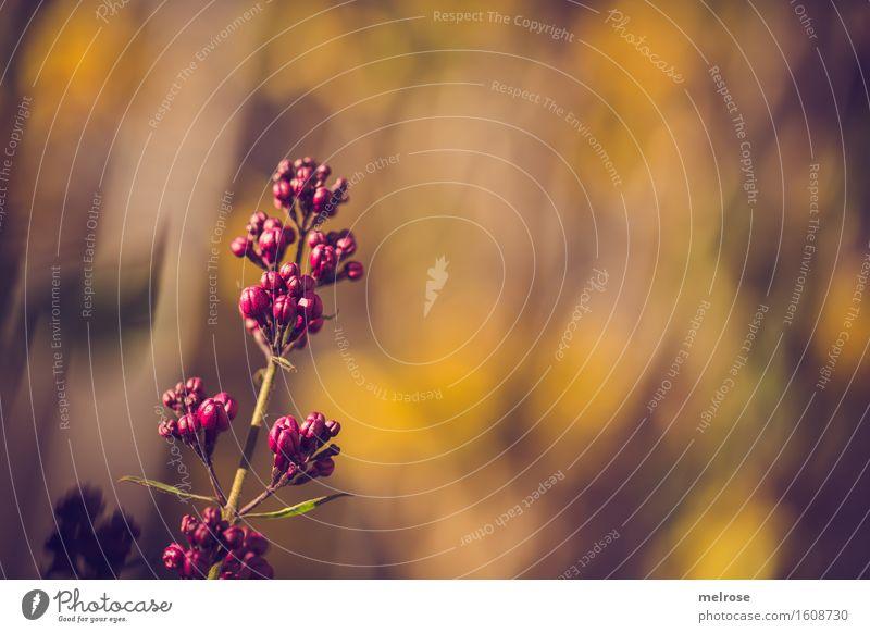 Frühlingsfarben elegant Stil Natur Sonne Schönes Wetter Pflanze Blume Sträucher Blüte Wildpflanze Fliederbusch Blütenstengel Blütenpflanze Garten Warme Farbe