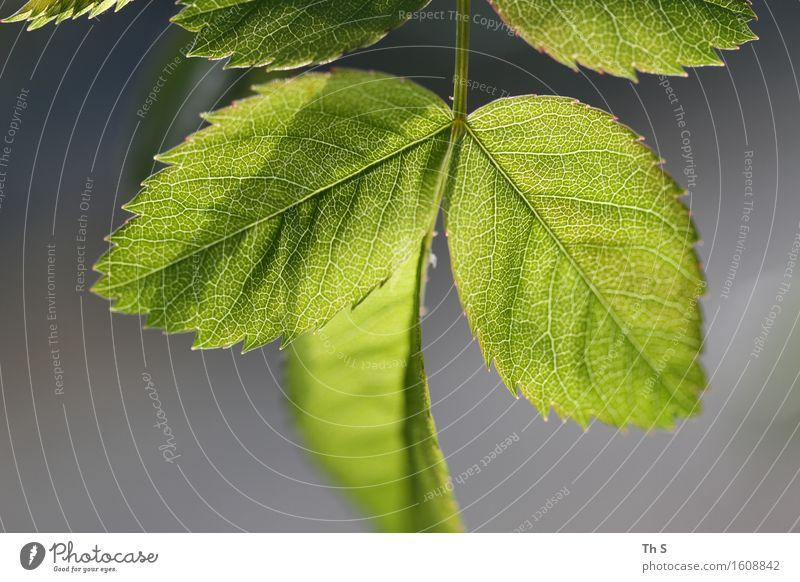 Blatt Natur Pflanze grün schön ruhig Frühling natürlich grau elegant frisch Idylle authentisch ästhetisch Blühend einzigartig