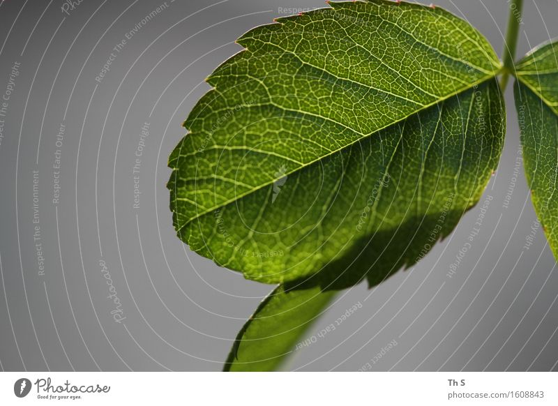 Blatt Natur Pflanze grün ruhig Frühling natürlich grau Design elegant frisch Idylle authentisch ästhetisch Blühend einzigartig