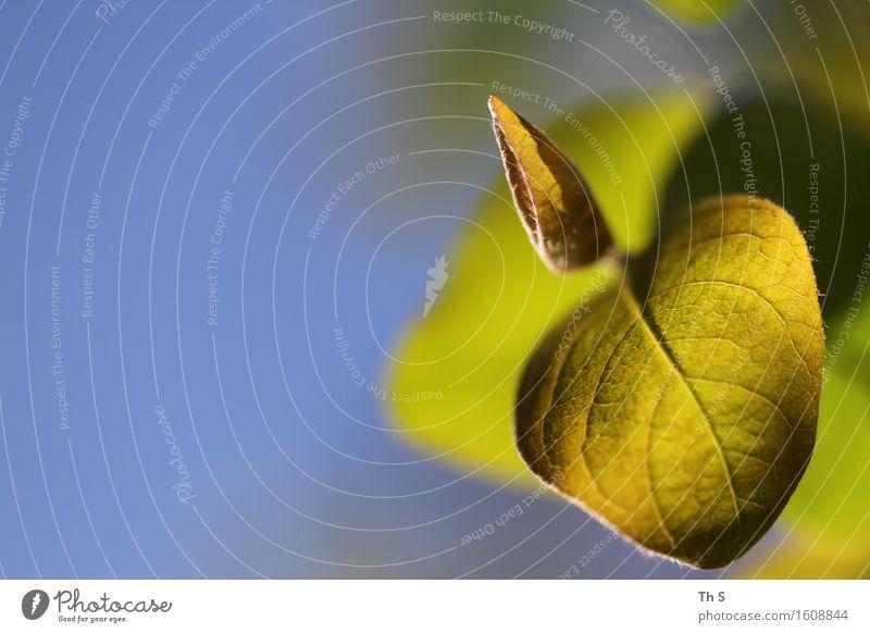 Blatt Natur Pflanze blau grün Sommer ruhig Frühling natürlich elegant frisch leuchten authentisch ästhetisch Blühend einzigartig